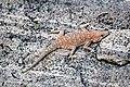 Ptenopus garrulus 1 MHNT.JPG