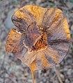 Pterocarpus dalbergioides - Andaman Padauk 01.JPG