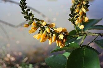Pterocarpus santalinoides - Pterocarpus santalinoides inflorescences, Comoé-Léraba reserve, Burkina Faso