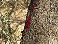 Pterocarpus santalinus 13.JPG