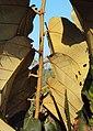 Pterospermum diversifolium 07.JPG