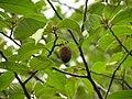 Pterospermum reticulatum .jpg
