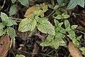 Puccinia menthae on Peppermint - Mentha × piperita (45650322911).jpg