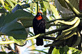 Puerto Rican Bullfinch (Loxigilla portoricensis) (8091093009).jpg