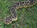 Puff Adder. bitis arietans, Western Cape, South Africa.jpg