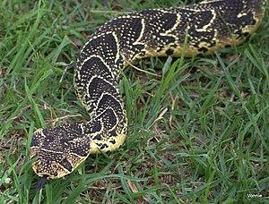 Bitis arietans - Image: Puff Adder. bitis arietans, Western Cape, South Africa