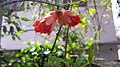 Punica granatum flower 1.jpg