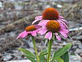Purple Coneflower (9606740507).jpg