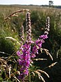 Purple Loosestrife on Chilla Moor - geograph.org.uk - 513479.jpg