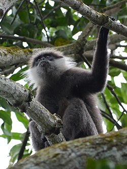 Purple faced langur.jpg