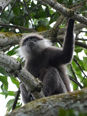 Western purple-faced langur - Image: Purple faced langur