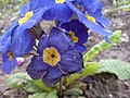 PurpleflowerStafford.JPG