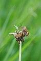 Purpurfruchtwanze, Carpocoris purpureipennis 2.JPG