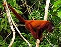 Purus Red Howler Monkey.jpg