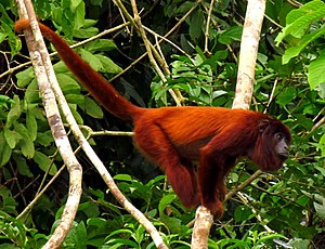Purus River - Purus red howler monkey