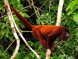 Purus River - Purus red howler monkey