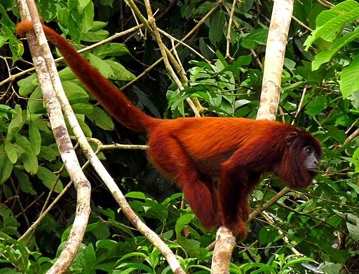 Purus Red Howler Monkey
