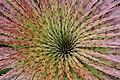 Puya clava-herculis 6.jpg