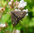 Pyrausta aurata family Crambidae - Flickr - gailhampshire.jpg