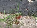 Pyrrhocoris apterus 2009 02.JPG