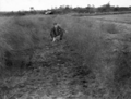 Queensland State Archives 4377 Asparagus at Sunnybank 10 February 1937.png