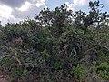 Quercus coccifera-Libya.jpg