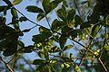 Quercus hemisphaerica (24166857916).jpg
