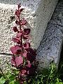 Rötliche Pflanze am Wegesrand Juni 2012.JPG