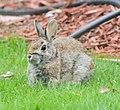 Rabbit (14149523022).jpg