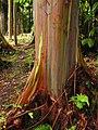 Rainbow Eucalyptus - Keanae Arboretum 001 by Forest and Kim Starr.jpg