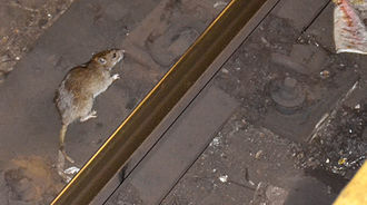 Rats in New York City - A rat in the New York City Subway