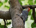 Red-bellied Woodpecker (36831951844).jpg