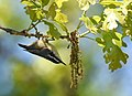 Red-breasted Nuthatch (32810057787).jpg