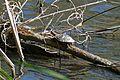 Red-eared Slider Turtle (Trachemys scripta elegans) (26291945690).jpg