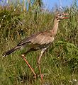 Red-legged Seriema.JPG