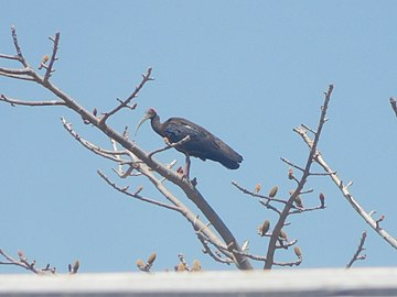 Red-naped Ibis on a tree.jpg