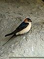 Red-rumped Swallow (Cecropis daurica) (23402310025).jpg