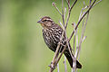 Red-winged Blackbird female 4105.jpg