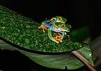 RedEyesFrogs Mating (pixinn.net).jpg