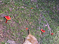 Red Fungi Bushland Park.JPG