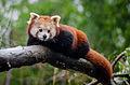 Red Panda (24480000454).jpg