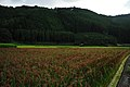 Red Rice Paddy field in Japan 012.jpg