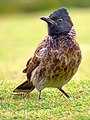 Red Vented Bulbul (Pycnonotus cafer) on a grass field (cropped).jpg