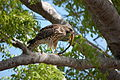Red Wing Hawk and Snake, NPSphotos (9103744884).jpg