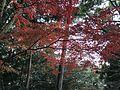Red leaves in Sumiyoshi Shrine 2.jpg
