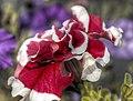 Red wrinkles (8183910339).jpg
