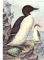 Reed-murre.png