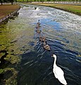 Regal swans, Hampton Court Palace. - panoramio.jpg