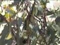 File:Regent Honeyeater capertee.ogv