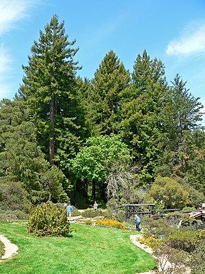 Regional Parks Botanic Garden - Redwoods shading the forest area of the garden.